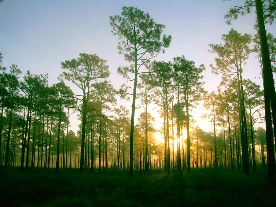 The sun rises in the longleaf pine savanna in Holly Shelter Game Land | Photo © PJ Wetzel
