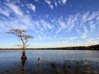 Lone cypress at Jones Lake   Photo © PJ Wetzel