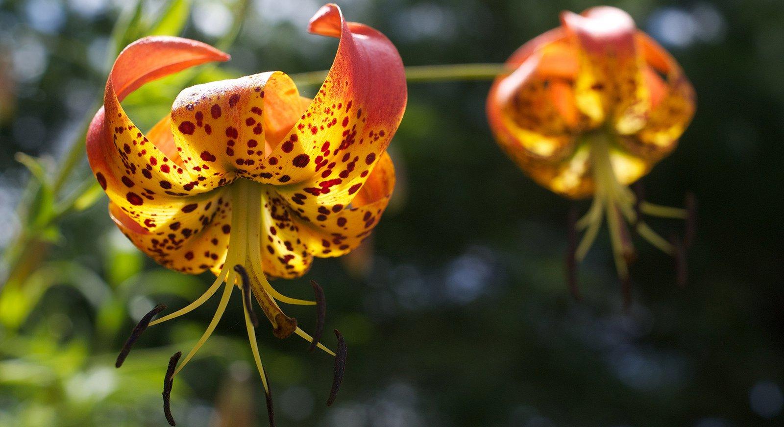 Turks Cap Lilies | Photo © Abigail Jones