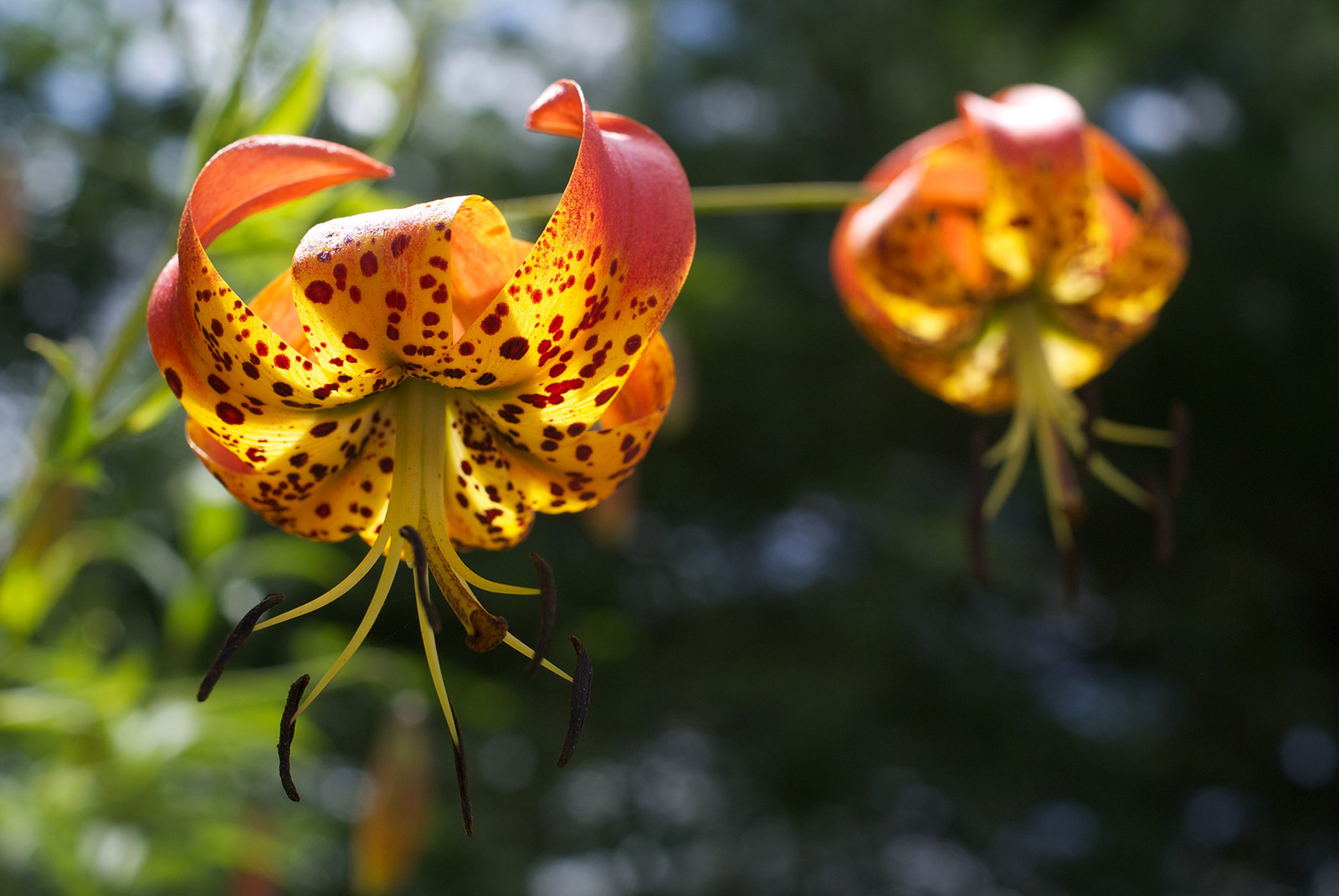 Turks Cap Lilies | Photo © Abigail Jones