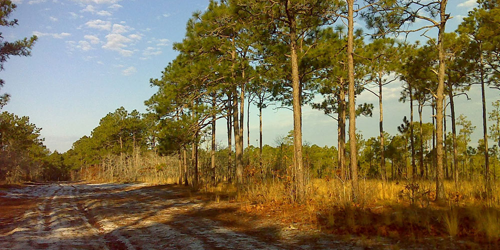 A sandy road through longleaf savanna in the Croatan National Forest | Photo © PJ Wetzel